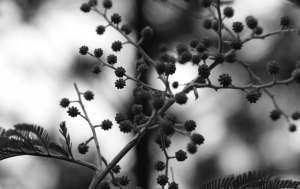 Budding Wattle